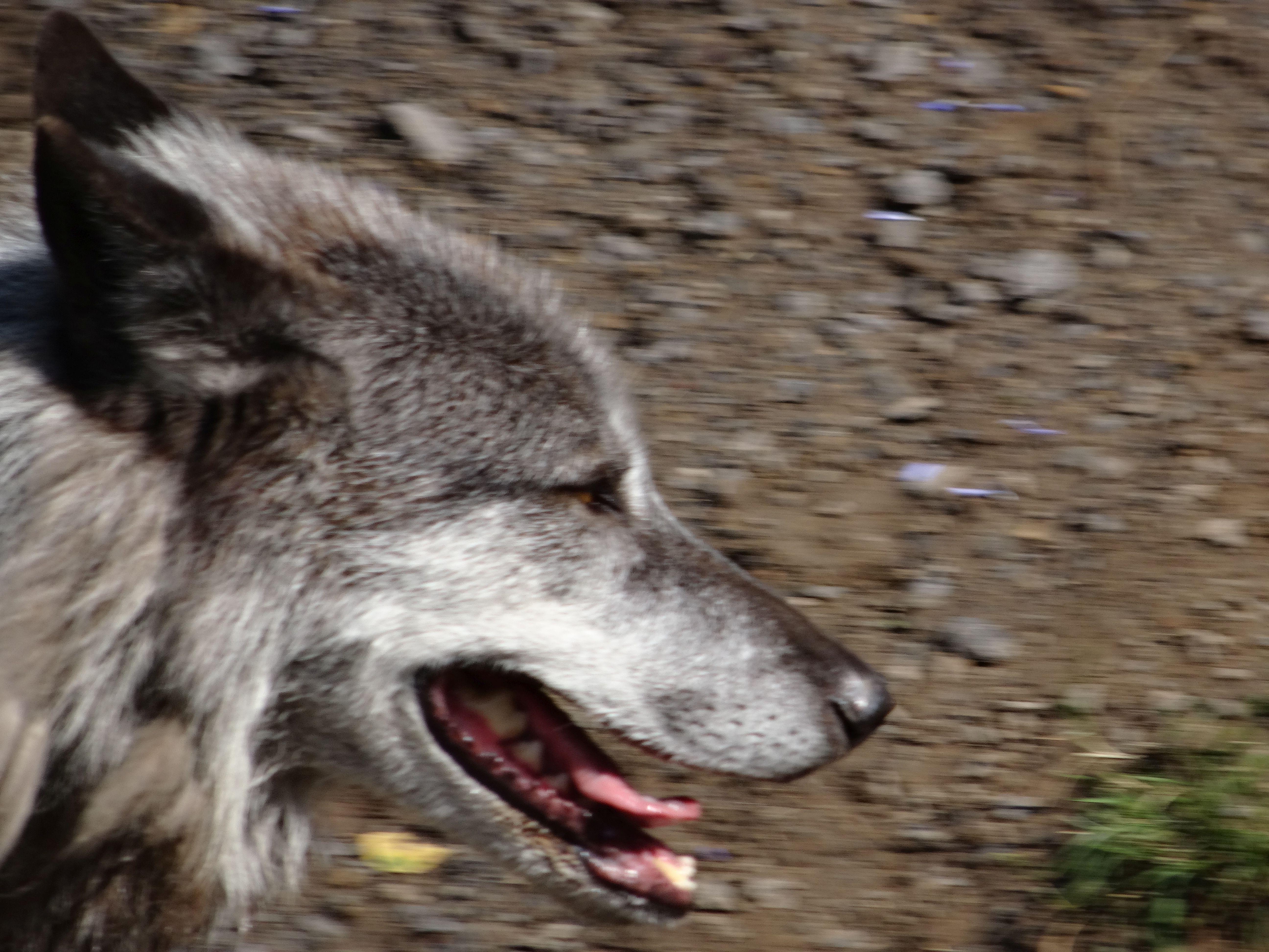 wolf  (3)