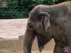 Elefantenkuh Indra  (3)