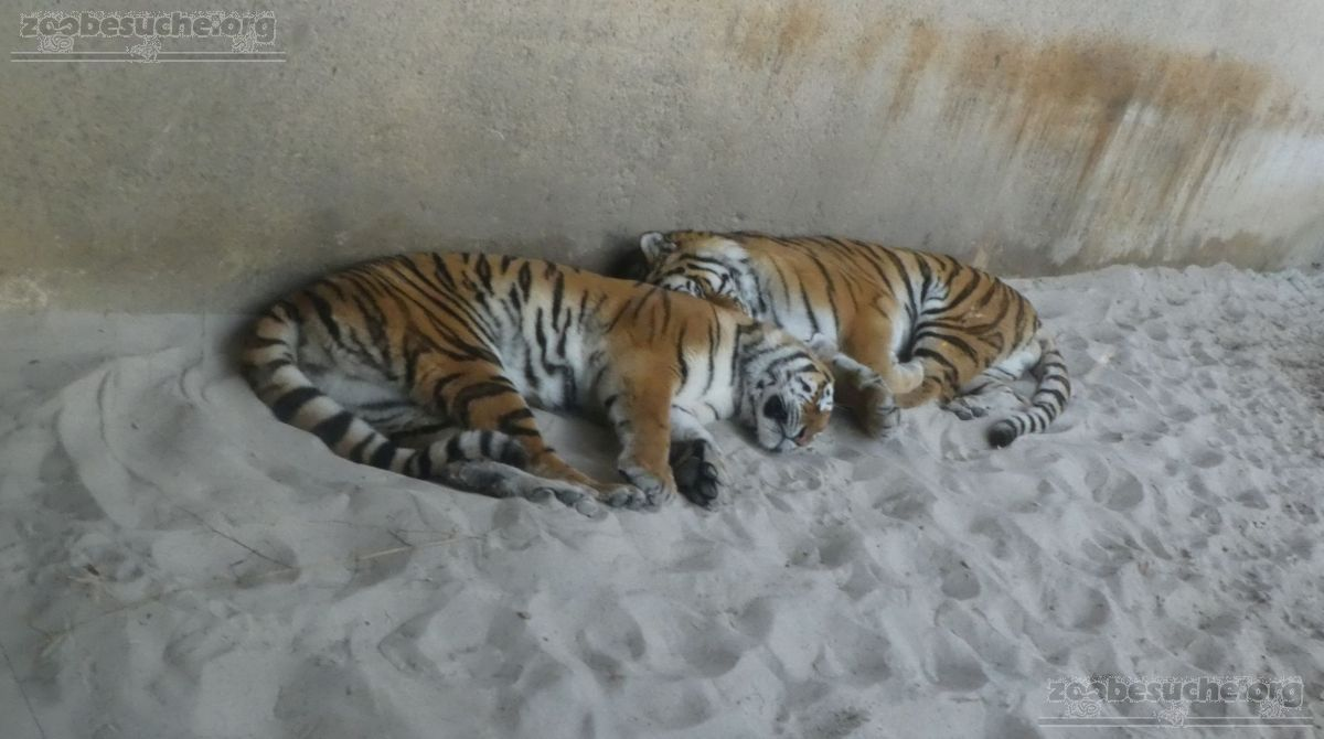 Tiger Aljosha und Alexa (1)
