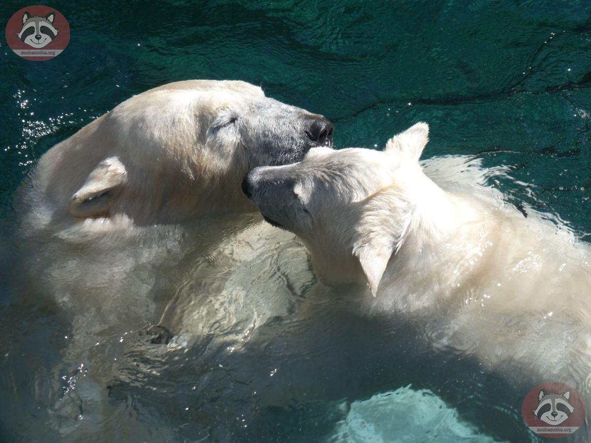 Eisbären_Milana_und_Nana_(2)