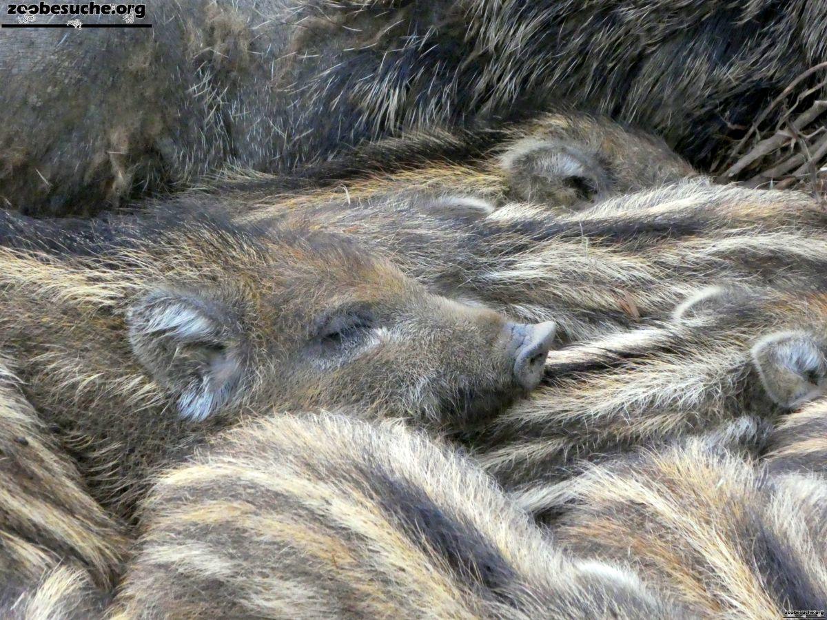 Wildschweine  (2)