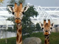 Giraffe  (5)