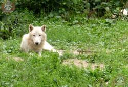 Hudson Bay Wolf (1)