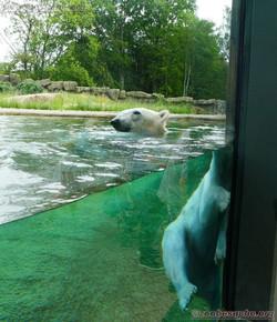 Eisbär  (11)