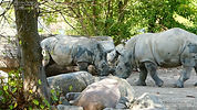 Nashorn  (3).jpg