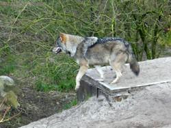 Wölfe  (4)