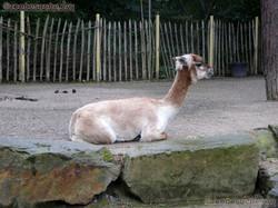 Alpaka (1)