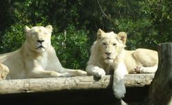 Weiße Löwinen