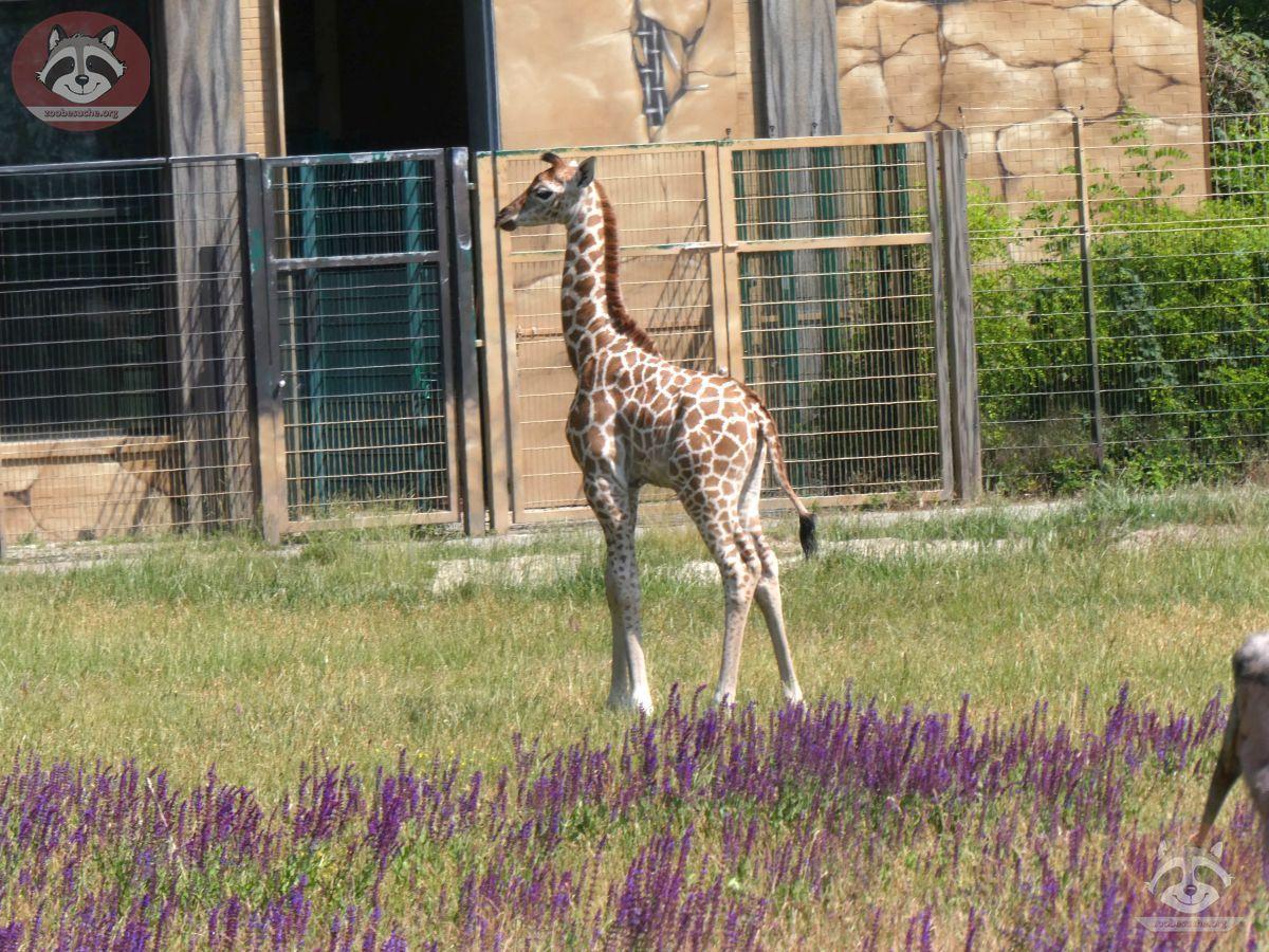 Giraffe Henry  (6)