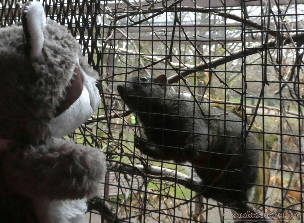 Wuschel mit Hörnchen  (2)