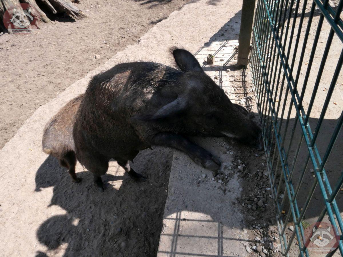 Wildschwein  (5)