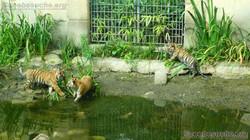 Tiger Jungtiere  (54)