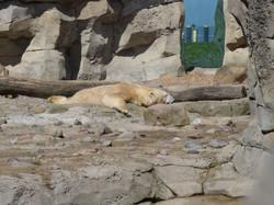 Eisbären Mama Valeska