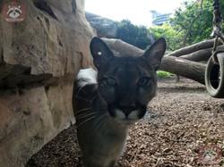 Puma (5)