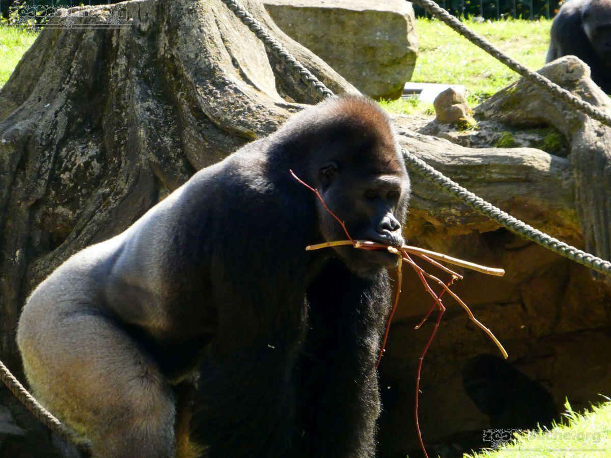 Gorilla Buzandi  (2)