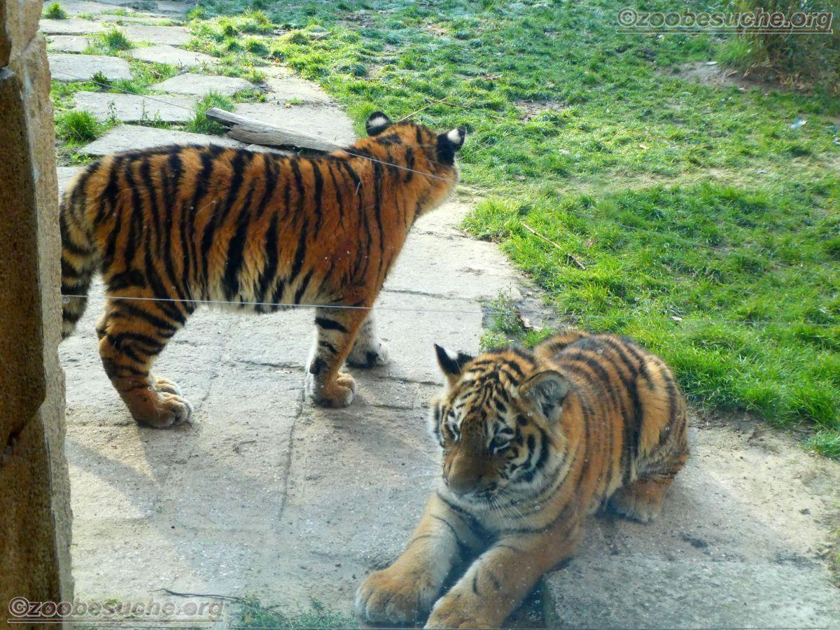 Tiger Jungtier  (6)