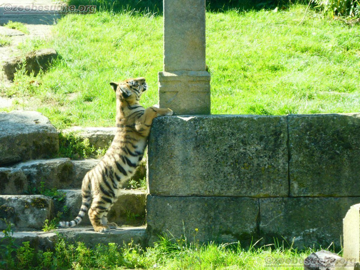 Tiger Jungtier (28)