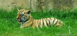 Tiger Jungtiere  (19)