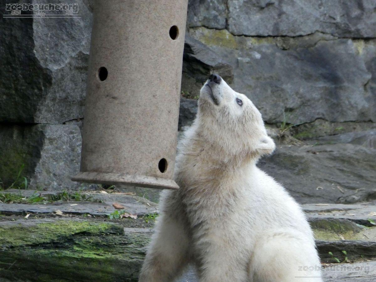 Eisbär  (64)