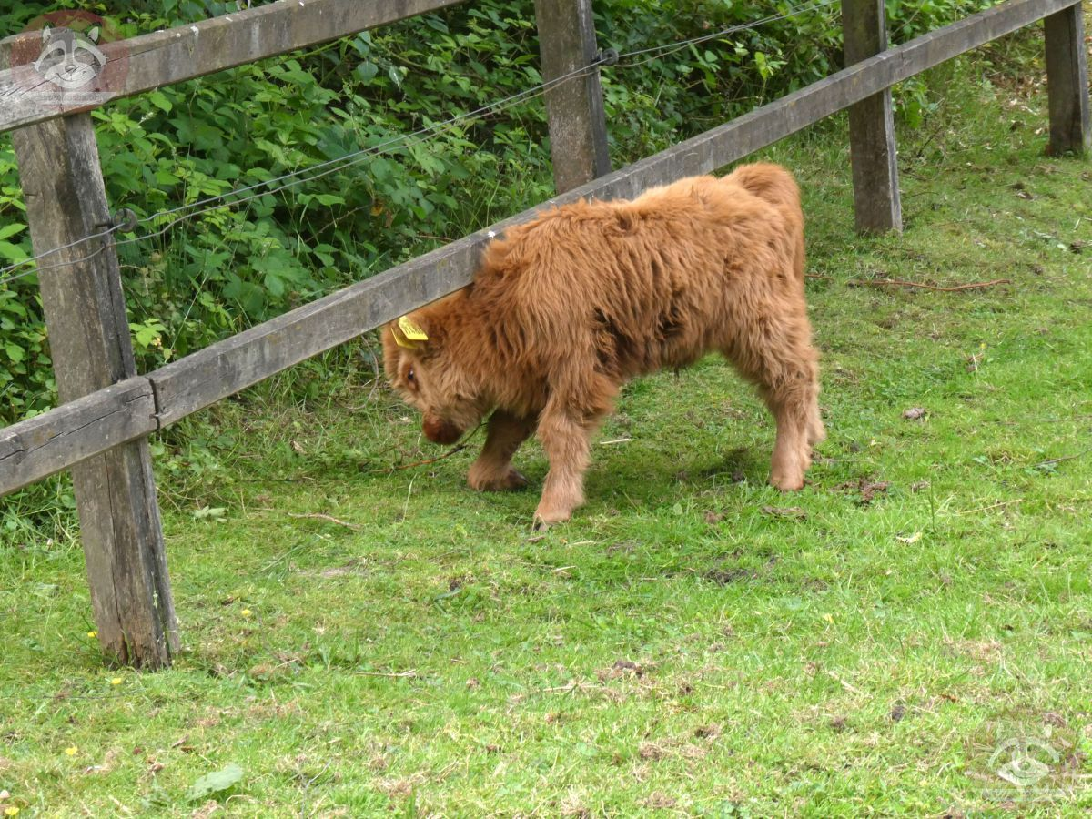 Highland Rind  (1)