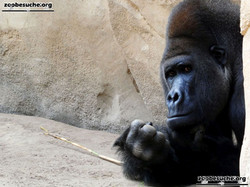 Gorilla Buzandi  (1)