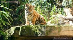 Tiger (14)