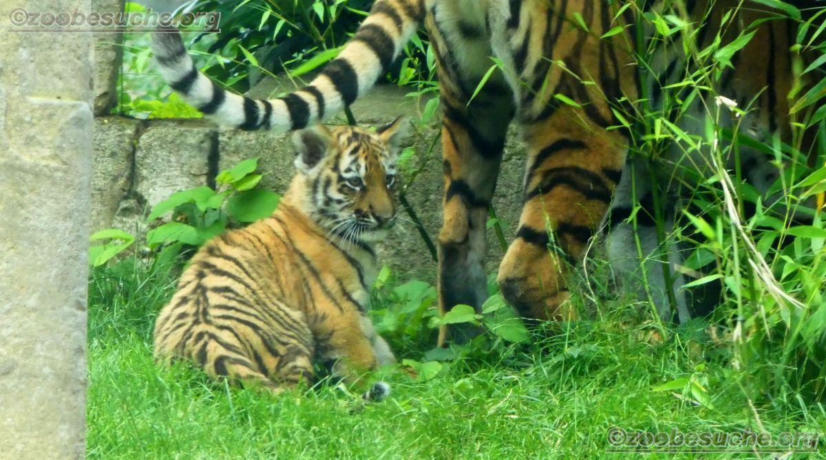 Tigerin Alexa  mit Jungtieren (7)
