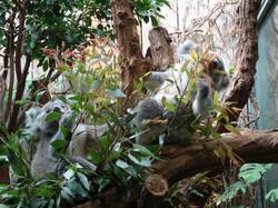 Koala  (8)