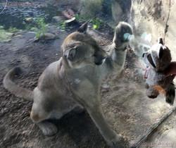 Wuschel bei dem Puma