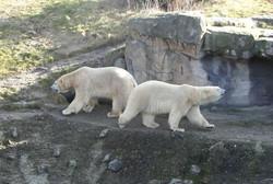 Eisbär 05