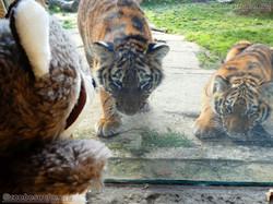 Wuschel mit Tiger Jungtier  (19)
