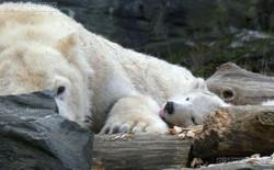Eisbär  (82)