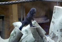 Gorilla Mädchen Tara  (2)