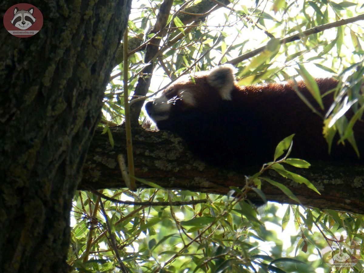 Roter Panda (2)