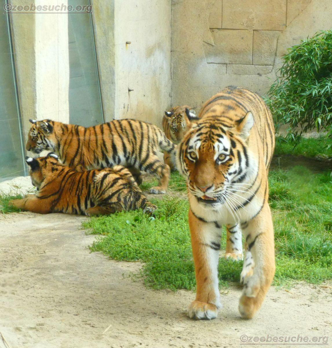 Tigerin Alexa mit Jungtieren  (4)