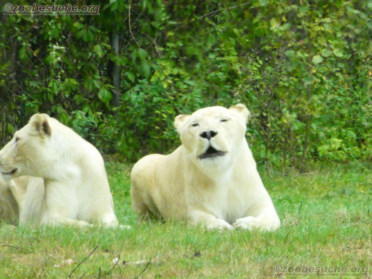 Weißer Löwe  (5)
