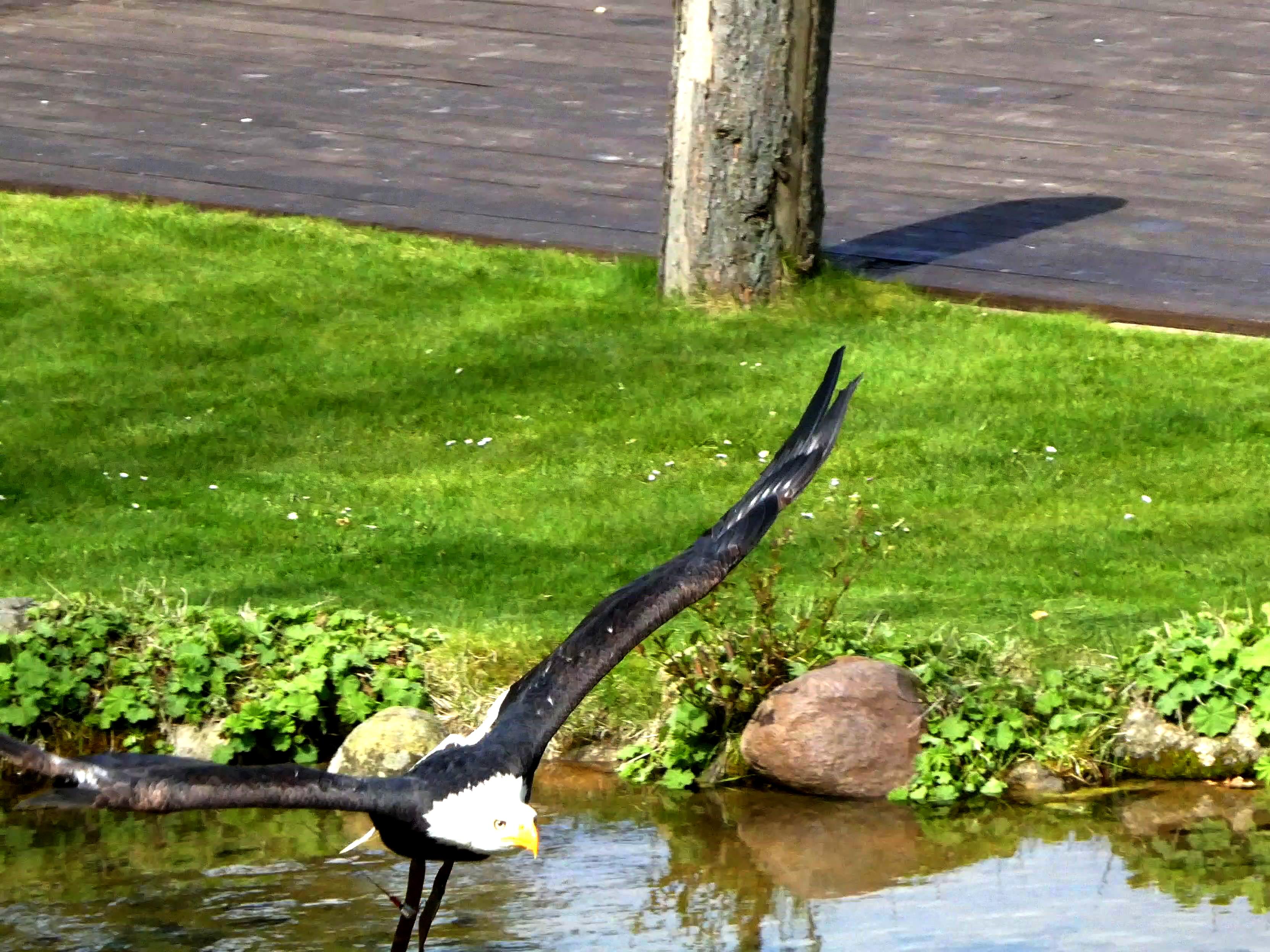 Weißkopfseeadler  (6)