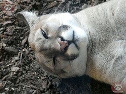 Puma (13)