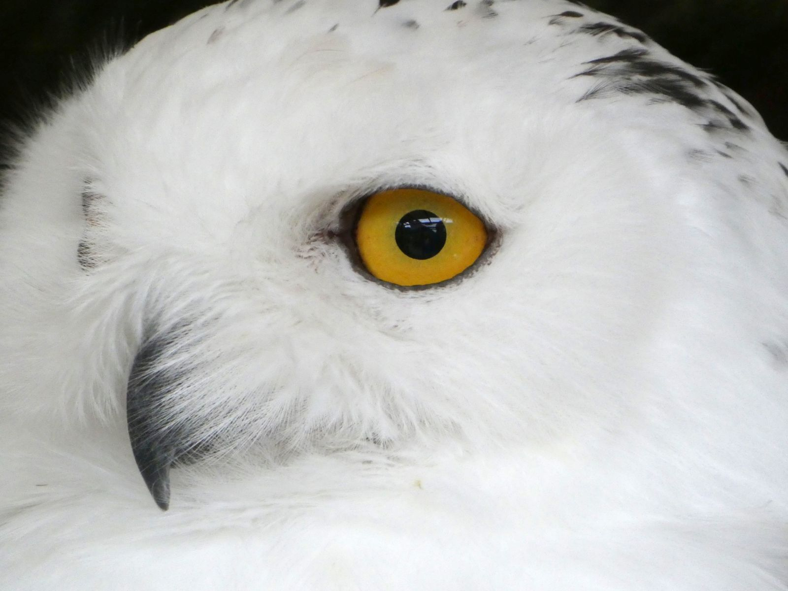 Schneeeule  (4)