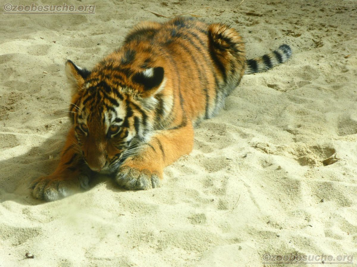 Tigerjungtiere  (14)