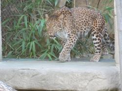 Leopard  (16)