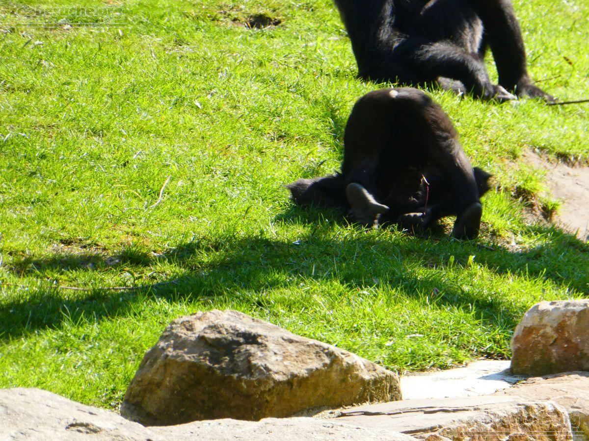 Gorilla Anandi Purzelbaum  (13)