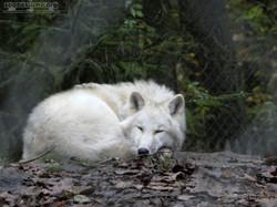 Polarwolf  (2)