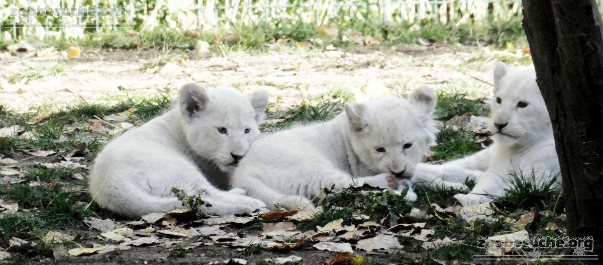 Löwen  (38)