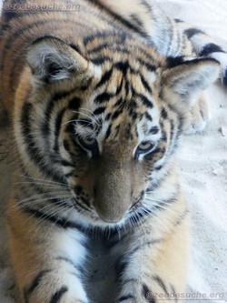Tiger Jungtier Jaro (16)