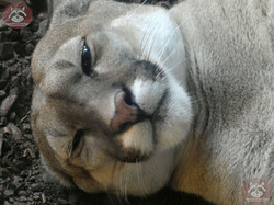 Puma (11)