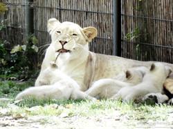 Löwen  (41)