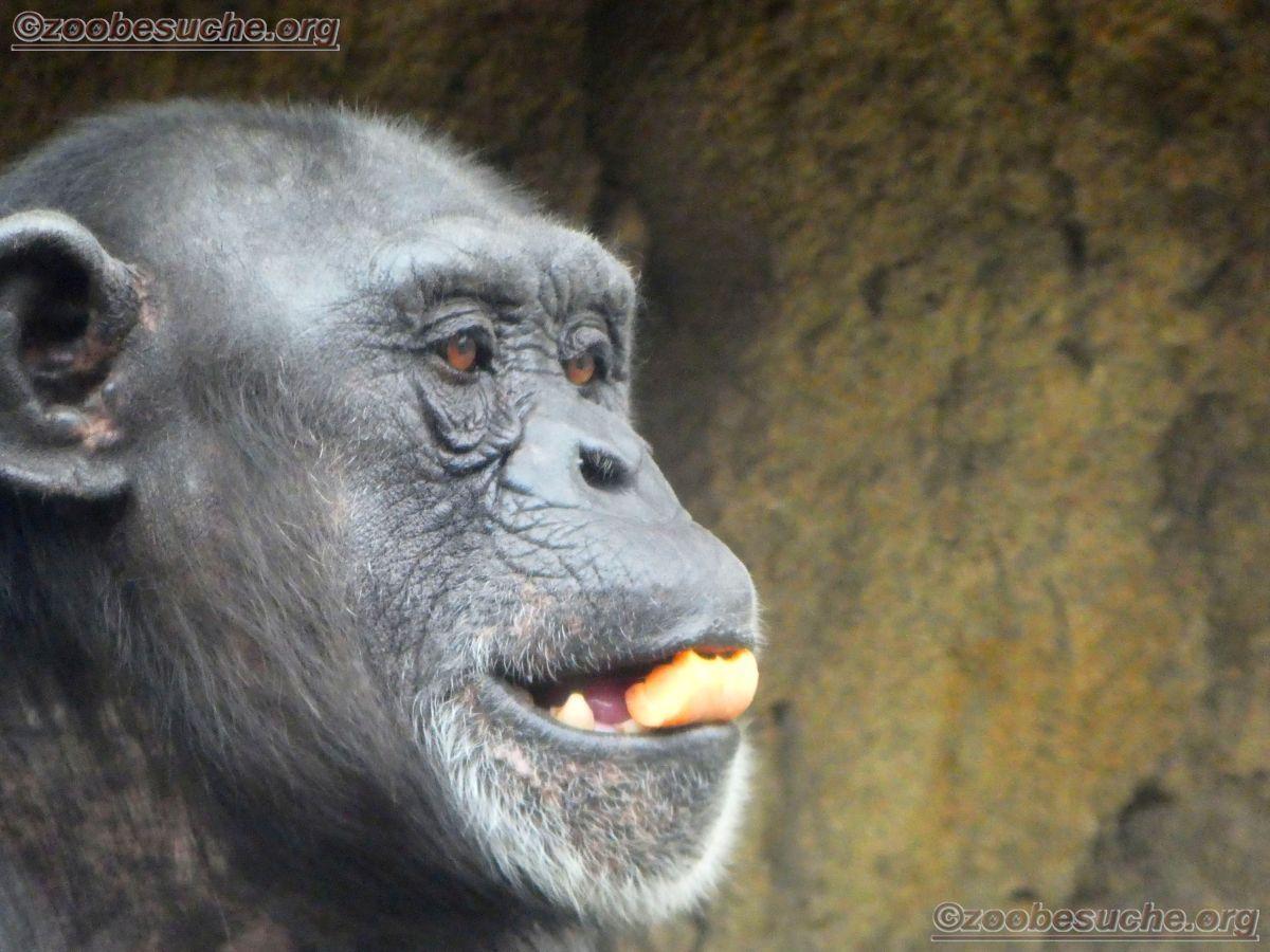 Schimpanse (5)