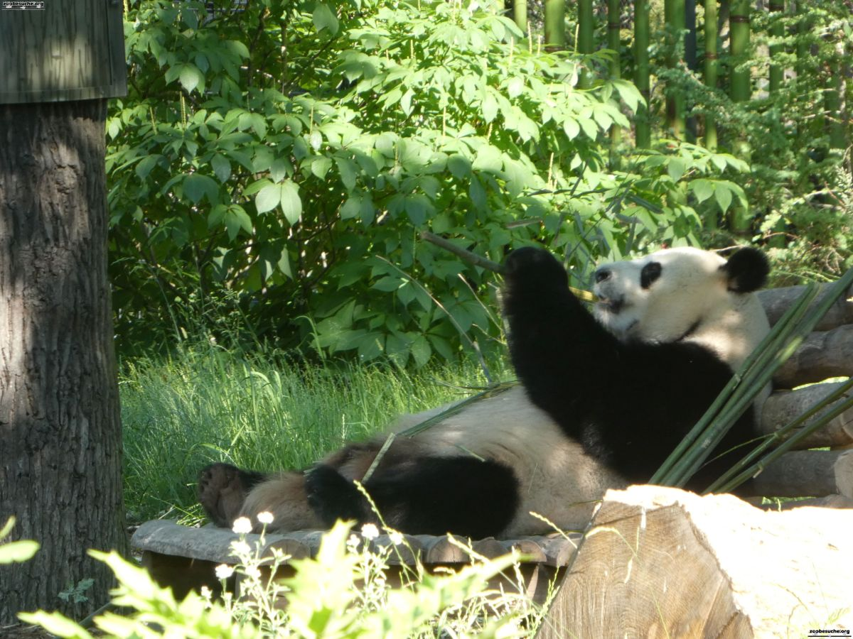 Panda  (20)