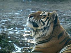 Tiger Aljosha  (2)